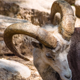 Ram by Dave Lipchen - Animals Other Mammals