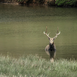 Bathing Stag by Garry Chisholm - Animals Other Mammals ( garry chisholm, nature, wildlife, stag, deer )