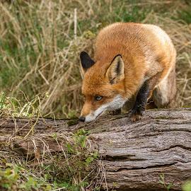Fox by Garry Chisholm - Animals Other Mammals ( garry chisholm, fox, red, nature, british wildlife )