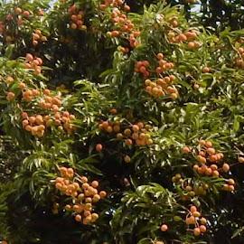 Lichi by ARIT KUMAR DAS - Nature Up Close Gardens & Produce