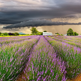 Lavender Farm New Zealand by Anupam Hatui - Landscapes Prairies, Meadows & Fields ( field, farm, landscape, padies, new zealand, lavenders )