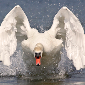 Watch out! by Mia Ikonen - Animals Birds ( water, wild, splash, territorial, majestic, male, white, pellinki, finland, bird, baltic sea, mute swan, wings, summer, attack, motion, aggressive, mia ikonen )