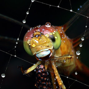 Full of Dews by Alit  Apriyana - Animals Insects & Spiders