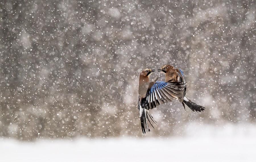 in snowstorm..... by Stanley P. - Animals Birds (  )