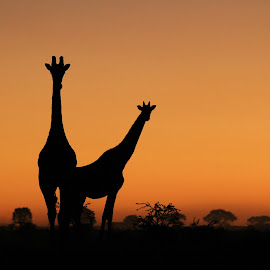 Giraffe Silhouette - Beautiful Nature and Elegant Wildlife by Dries Alberts - Animals Other Mammals ( skyline, freedom, silhouette, giraffe family, glorious, cow, yellow, backdrop, striking, contrast, free, sky, inspiration, iconic, tree, family, silhouette background, wonder, lovely, elements, black, orange, wild, contour, instinct, majestic, free wildlife, superb, horizon, symbolic, shape, mammal, magnificent, grace, season, herd, giraffe background, senses, golden, shaped, captivate, unique, horns, colorful, calf, splendor, screensaver, wildlife, outline, mother nature, super, tranquil, life, giraffe, harmony, africa, inspire, bliss, mesmerize, classic, animal, icon, beautiful, sublime, bull, fantastic, amazing, wilderness, red, animal kingdom, color, elegant, background, summer, graceful )