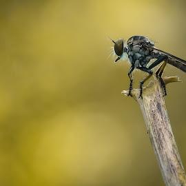 Robberflies by Eko Waluyo - Instagram & Mobile Android ( macro art, macro, insect, photography, robberfly )