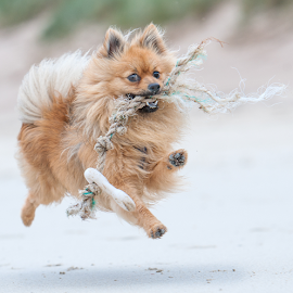 what you got there by Michael  M Sweeney - Animals - Dogs Puppies ( michael m sweeney, dog, run, pomeranian )
