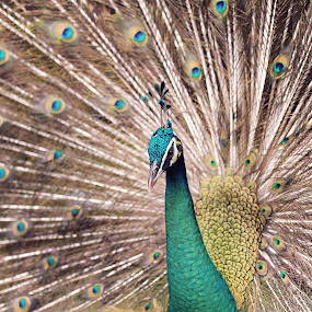 Peacock by Syafizul  Abdullah - Animals Birds