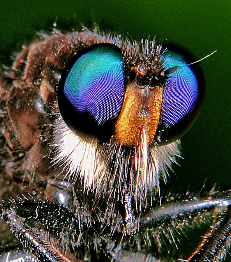 ol' blue eyes by David Winchester - Animals Insects & Spiders (  )