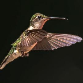 Over Yonder by Roy Walter - Animals Birds ( bird, nummingbird, flight, wildlife, animal )