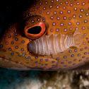 Cymothoid Isopod Shrimp