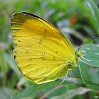 The Three Spot Grass Yellow