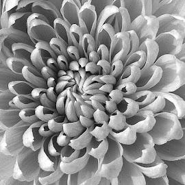 Dahlia BW by Pradeep Kumar - Black & White Flowers & Plants