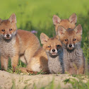 Red Fox Kittens