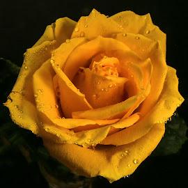 Shades of Orange by Dave Walters - Flowers Flower Arangements ( macro, nature, colors, orangeflowers, lumix fz2500,  )
