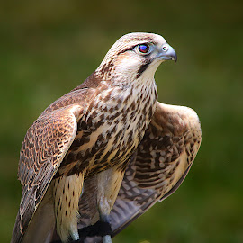 Little falcon by Gérard CHATENET - Animals Birds