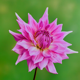 Purple Dahlia  by Jim Downey - Flowers Single Flower ( purple flower, green, dahlia, yellow, petals )
