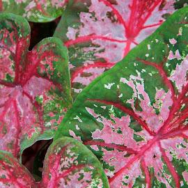 by Jazz Johnson - Nature Up Close Other plants ( colors, plants, leaves, coleus )