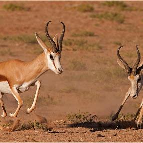 chasing by Geo Jooste - Animals Other Mammals