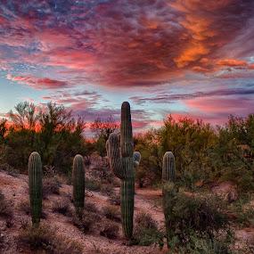 Sunrise over Tucson by Charlie Alolkoy - Landscapes Deserts ( desert, sunset, arizona, tucson, sunrise, cactus,  )