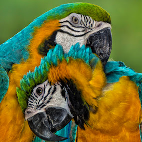 by Charliemagne Unggay - Animals Birds