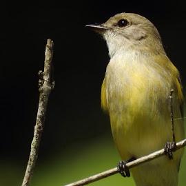Flycatcher  by Sharon Cislowski - Novices Only Wildlife ( bird, flycatcher, australia, wildlife, yellow )