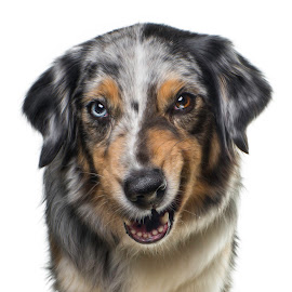 Freya in the studio by Börje Ensgård - Animals - Dogs Portraits ( brown eyes, blue eyes, australian shepherd, dog )