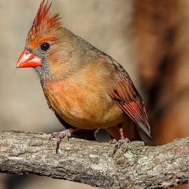 Mrs. Cardinal by Mike Craig - Animals Birds