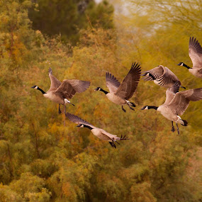 Geese as the fly by Ruth Jolly - Animals Birds ( bird, nature, wildlife, canada geese, geese, bird in flight, birding, animal,  )