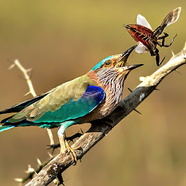 INDIAN ROLLER by Subramanniyan Mani - Animals Birds ( bird, nature, action, wildlife, toss )
