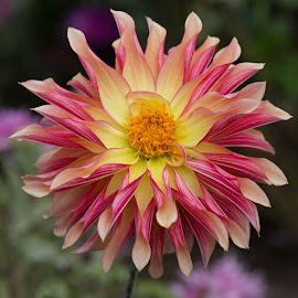 Yellow On Front Red On Back by Janet Marsh - Flowers Single Flower ( red, dahlia, yellow )