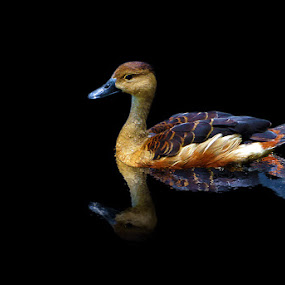 Lesser Whistling Duck (-s) by Jenny Zhang - Animals Other ( reflection )