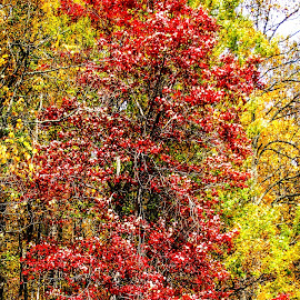 Red Tree by Dave Walters - Landscapes Forests ( forests, nature, fall colors, trees, blue ridge parkway, north carolina )