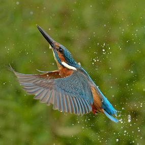 Kingfisher Rising  by Keith Bannister - Animals Birds ( nature, kingfisher, wildlife, alcedoatthis, birds )