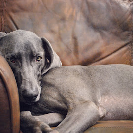 Not amused by Jess Bunger - Animals - Dogs Portraits ( weimaraner dog )