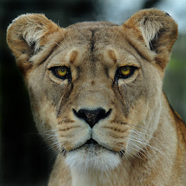 Lioness by Gérard CHATENET - Animals Lions, Tigers & Big Cats