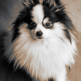 Sexy and I know it by Michal Challa Viljoen - Animals - Dogs Portraits ( pose, sexy, fluffy, panda, black and white, beautiful, cute, dog, nose, eyes, dog portrat,  )