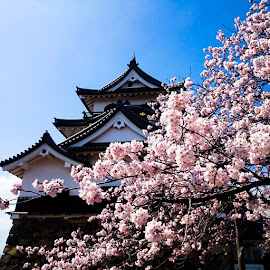 Hanami by Kathy Russo - Buildings & Architecture Public & Historical ( kansai, japan, sakura, castle, travel )