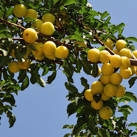 yellow plums by LADOCKi Elvira - Nature Up Close Trees & Bushes