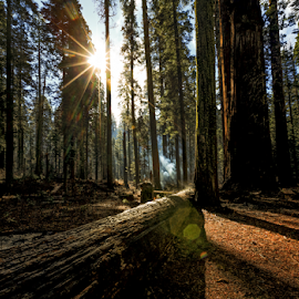 Good Morning Calaveras by Paul Judy - Landscapes Forests ( calaveras, state park, trees, big trees, forest, sunrise )