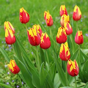 Aurora's Kiss by Tina Stevens - Flowers Flower Gardens ( red, nature, grass, tulip, yellow, bunch, tulips, group, flowers, garden, blossoms, flower,  )