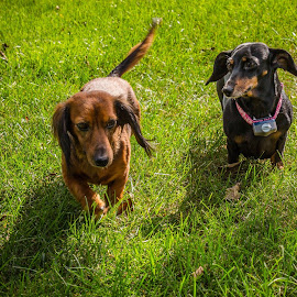 Buddies by Teresa Husman - Animals - Dogs Running