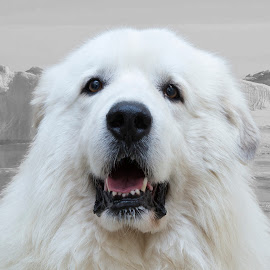 Kubo - A Shelter Dog by Ginger Wlasuk - Animals - Dogs Portraits ( shelter, great pyrenees, shelter dog, rescue, dog )