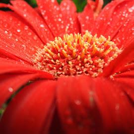 Red flower by Ann Goldman - Novices Only Flowers & Plants ( up close, red, flower )