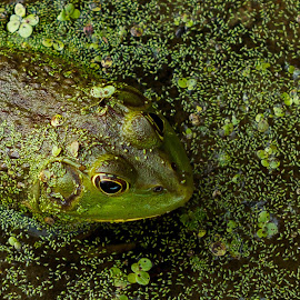Blending by Allen Wesley - Animals Amphibians ( animals, nature, frogs, amphibians, frog in water,  )