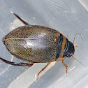 Spangled Diving Beetle