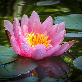 Nymphaea 'Marliacea Rosea' by Marina Denisenko - Flowers Flower Gardens ( water lilies, waterlily, lily, lotus, nymphaea, water lily, flower )