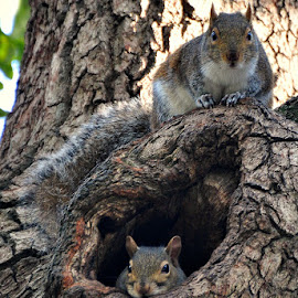 Home Sweet Home by A.j. Amos - Animals Other ( squirrels, nature, wildlife, cute, close up )