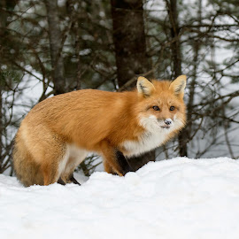 Fox  by Martine Brassard - Animals Other Mammals