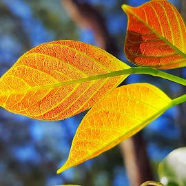 Golden leaves by Hayley Moortele - Nature Up Close Leaves & Grasses ( #orange, #nature, #leaves, #sunlight, #contrasts, #red, #natureupclose )
